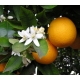 Orange, Autor Ellen Levy Finch (Elf), Wikimedia