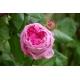 Rose, Autor Huhu, Wikimedia