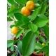 Mandarine, Autor 4028mdk09, Wikimedia