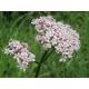 Baldrian, Echter Baldrian (Valeriana officinalis), AnRo0002 Wikimedia5 ml, ätherisches Öl Young Living