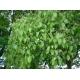 Ravintsara, ravintsara Cinnamomum camphora; Quelle: Wikimedia, Autor: KENPEI
