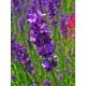 Lavendel, Autor H. Zell, Wikimedia